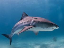 Zęby rekina ludojada przegrywają z ludzkimi