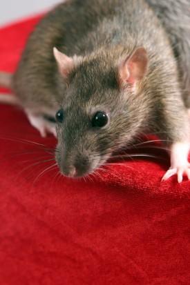 Szczury winne próchnicy? (fot. sxc.hu)