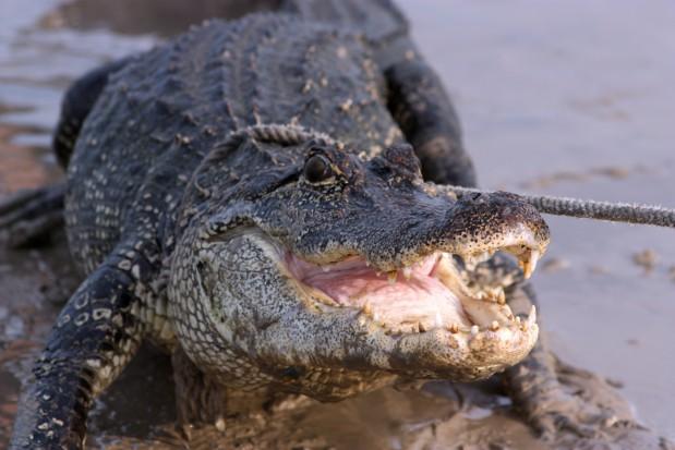 Regeneracji zębów - tajemnica tkwi w paszczy aligatora (fot. sxc.hu)