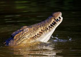 Regeneracja zębów dzięki aligatorom? Długa droga do sukcesu