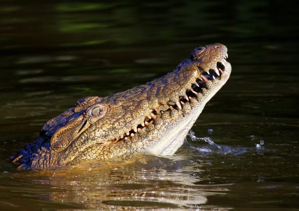 Regeneracja zębów dzięki aligatorom? Długa droga do sukcesu (fot. sxc.hu)