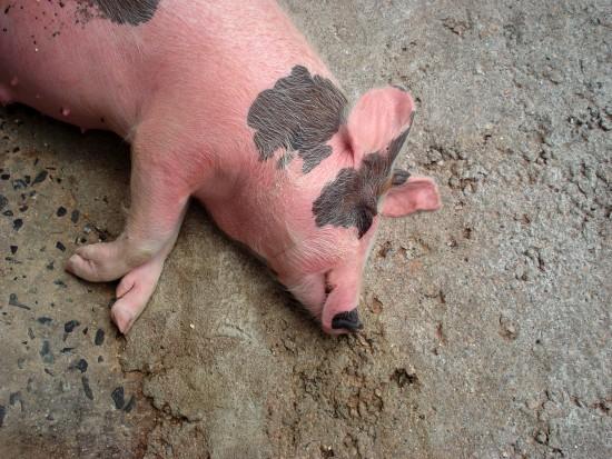 Co robią: gęś, świnia, koń, kaczka w gabinecie stomatologicznym