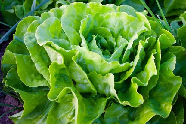 Sałata chroni przed chorobami dziąseł