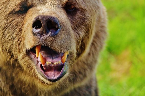 Niedźwiedź u dentysty