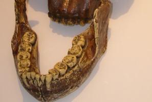 Co zęby mówią o diecie praprzodków