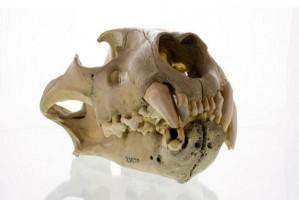 Próchnica zębów u lwów zabiła 35 ludzi