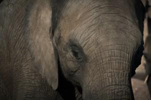 Słoniowe problemy z zębami