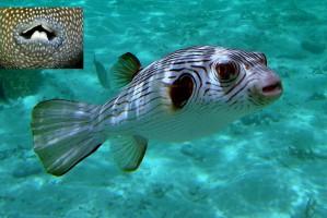 Ryba rozdymka i człowiek mają te same geny odpowiedzialne za zęby