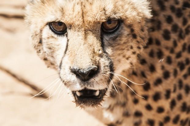 Gepard u dentysty