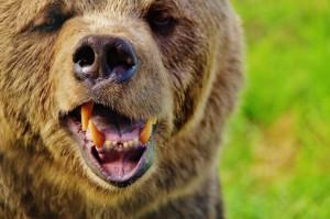 W USA obfitość zębów niedźwiedzich do badań