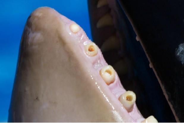 Zdewastowane zęby u uwięzionych orek