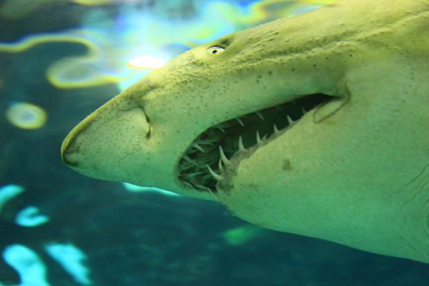 Rekin zostawił ząb w nodze ofiary