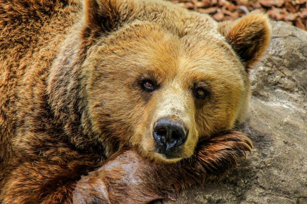 Niedźwiedzi dentysta