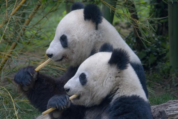 Zęby pandy same się leczą