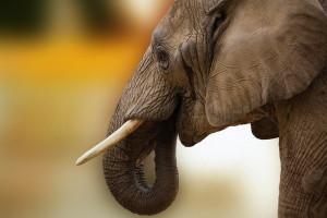 Masa słoni zależy od...liczby zębów