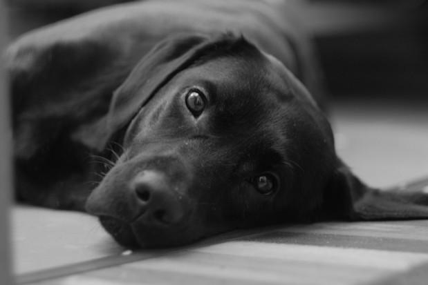 Psy użyte do badań nad materiałami stomatologicznymi zostały uśpione