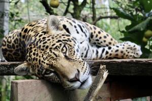 Ponoć dentysta-kłusownik zabił 1000 jaguarów!