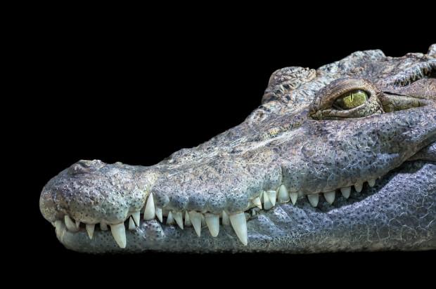 Krokodyle zęby z zaskakująco cienkim szkliwem