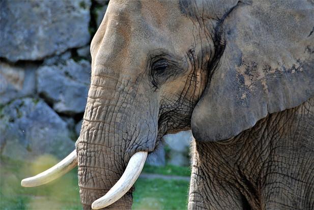Afrykański dentysta u poznańskiego słonia