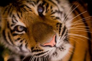Złoty ząb tygrysa
