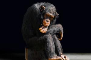 Szympansy czyszczą zęby krewnym...po śmierci