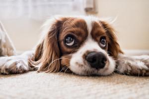 Koronawirus: zwierzęta domowe raczej nie zarażają właścicieli