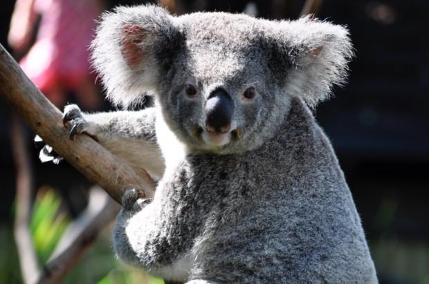 Protetyk dentystyczny wykonał protezę stopy dla misia koala