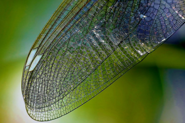 Lepsze implanty dzięki badaniom owadów?