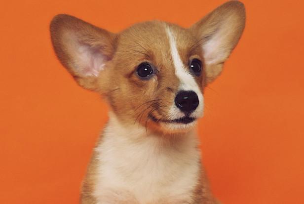 Pies asystentem dentysty
