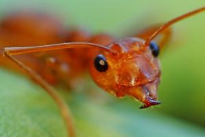 Zęby mrówek: doskonale wytrzymały projekt